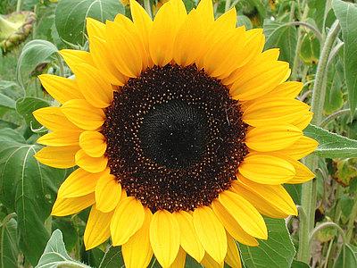 Atteloi Sonnenblumen Poster online bestellen | Posterlounge